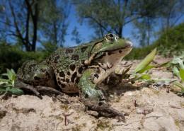 Pelophylax ridibundus - Marsh Frog - Rana verde maggiore