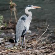 Ardea Cinerea (Grey Heron, Airone Cenerino)