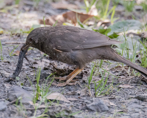 Blackbird sp. with prey: Euspondylus rahmi