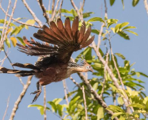 El hoacín - Hoatzin (opisthocomus hoazin)