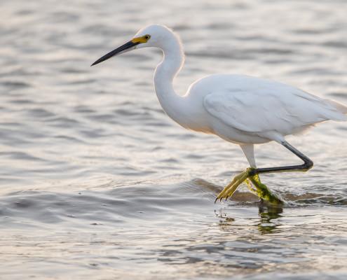 Garza Blanca Chica - Snowy Egret (egretta thula)
