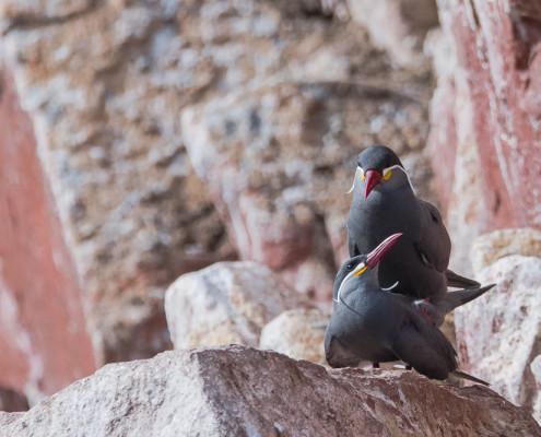 Zarcillo - Inca Tern (larosterna inca)