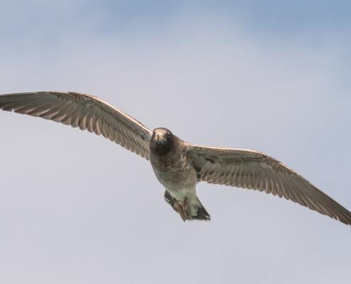 Gaviota peruana - Belcher's Gull (larus belcheri)