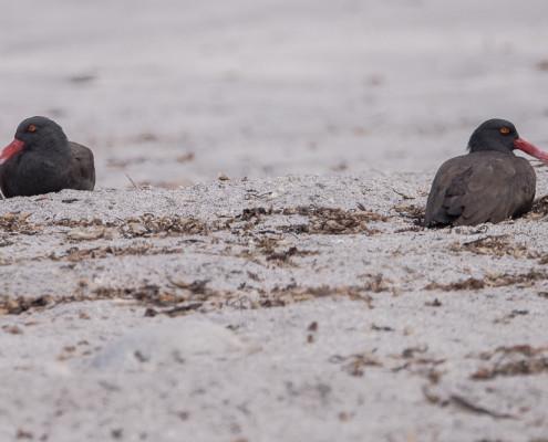 Ostrero Negruzco o Brujillo Negro - Blackish Oystercatcher (aematopus ater)