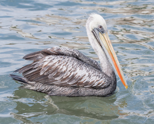 Pelicano Peruano - Peruvian Pelican (pelecanus thagus)