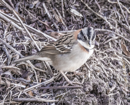 Chingolo - Rufous-collared Sparrow (zonotrichia capensis)